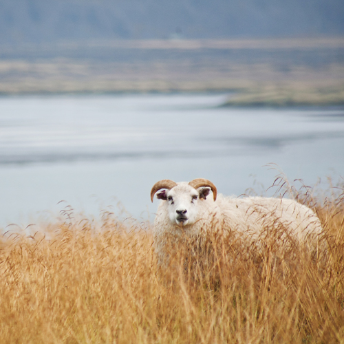 Icelandic Sheep – Photo of the Day